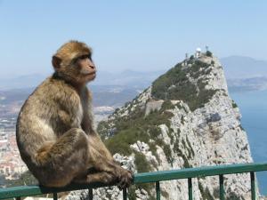 gibraltar-monkey